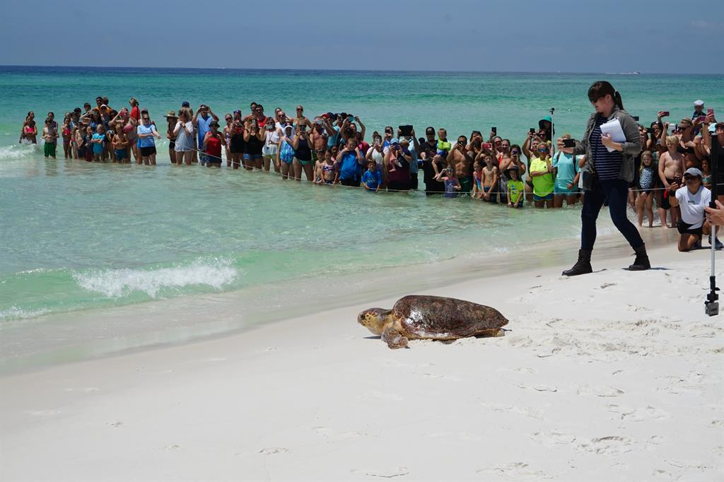 Endangered Sea Turtle Release in Destin